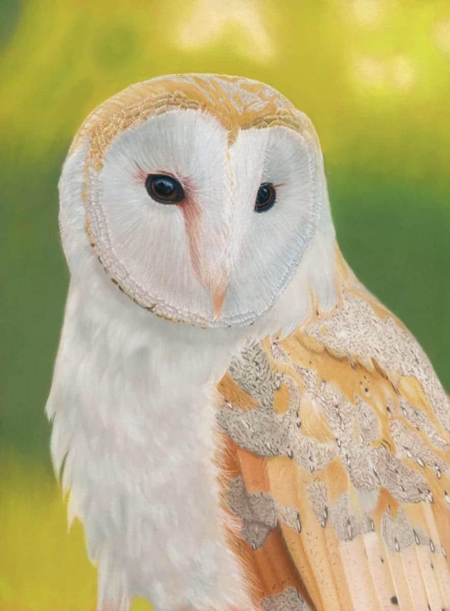 Barn owl limited edition giclee print by Alan Taylor Art