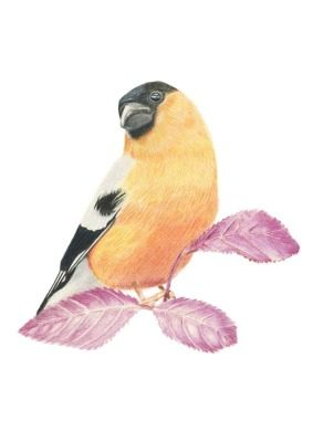 Bullfinch giclee print by Alan Taylor Art