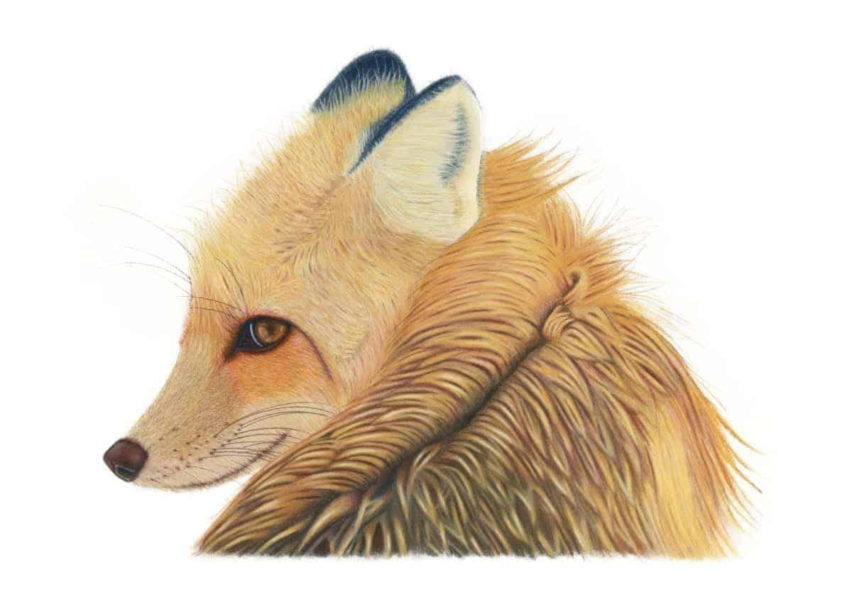 Fox giclee print by Alan Taylor Art