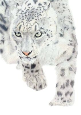 Snow Leopard giclee print by Alan Taylor Art