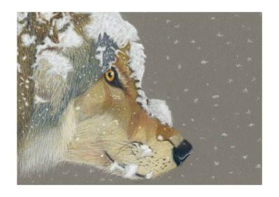 Snow Wolf giclee print by Alan Taylor Art
