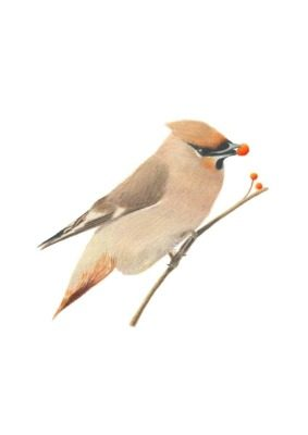 Waxwing giclee print by Alan Taylor Art